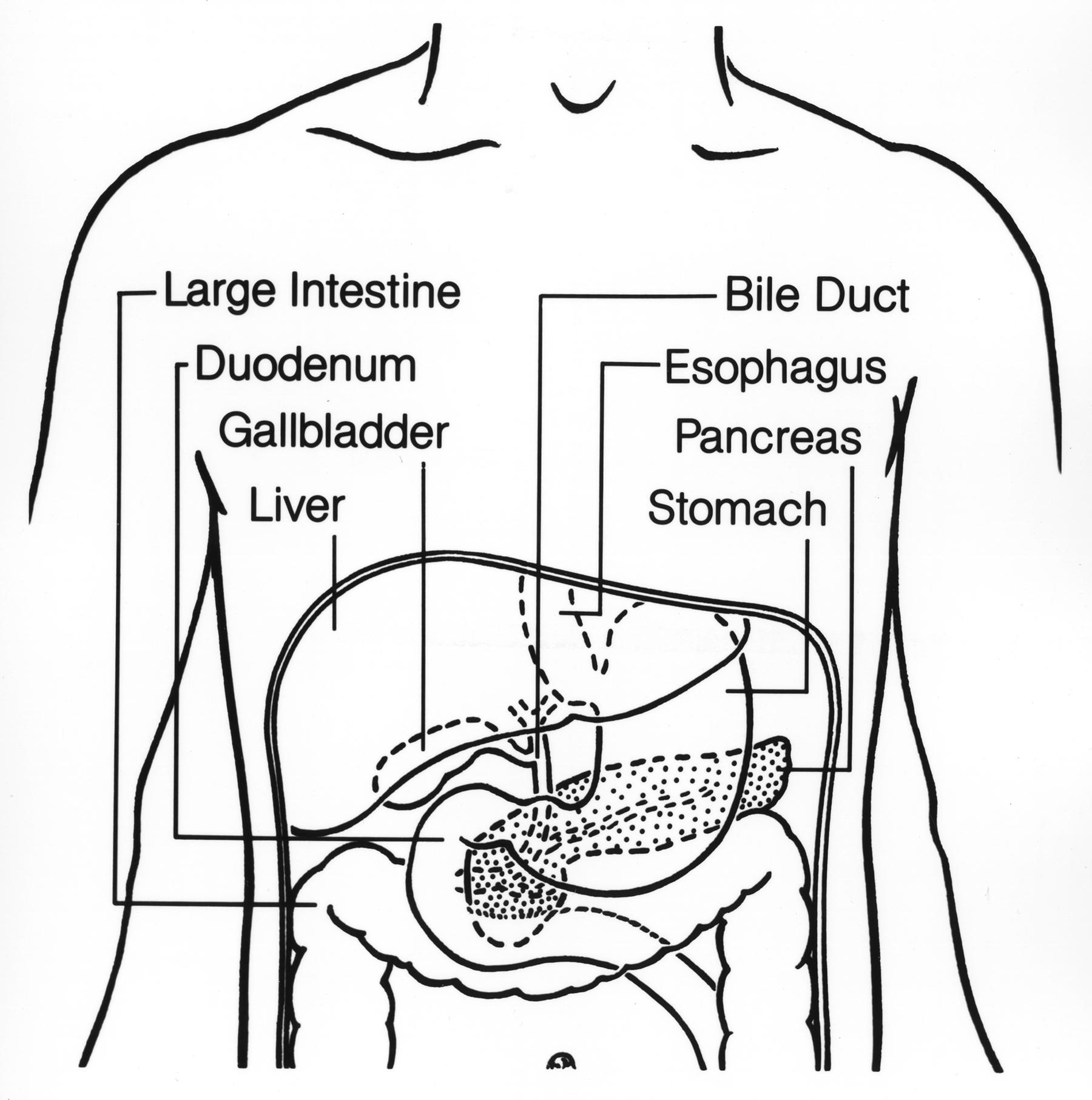 large intestine diagram blank house electrical wiring australia file digestive tract upper jpg wikimedia commons