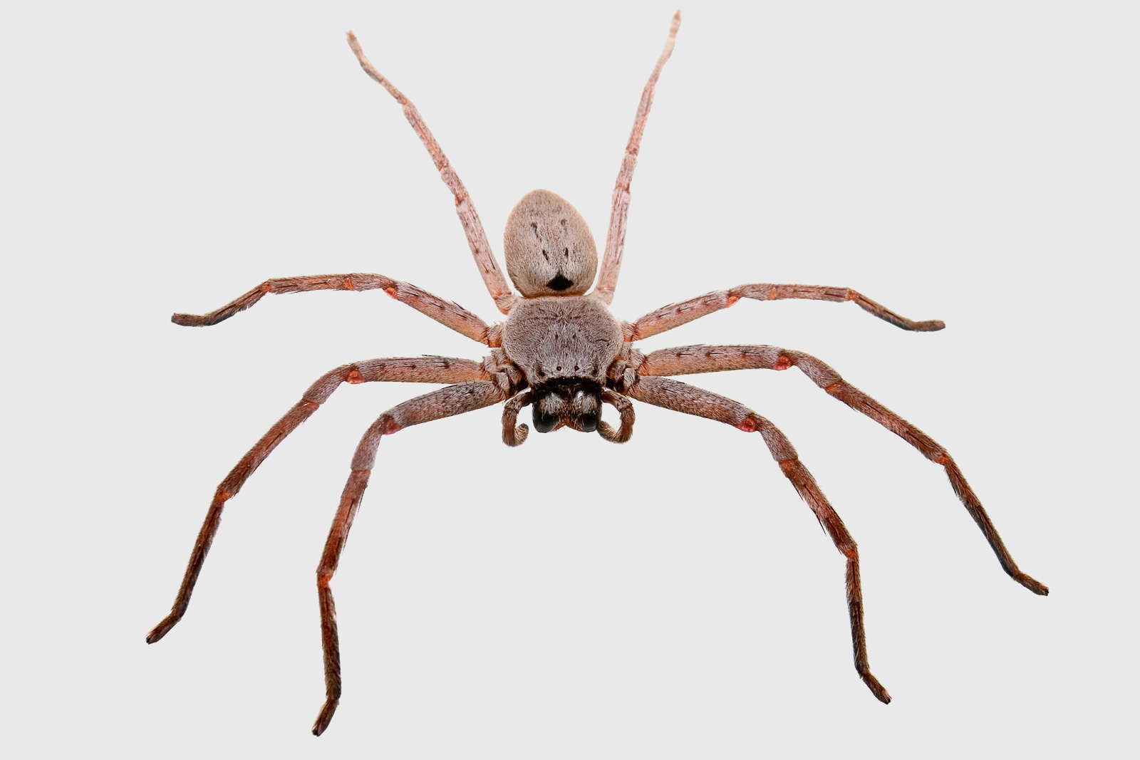 Filehuntsman Spider Grey Bg04jpg  Wikimedia Commons