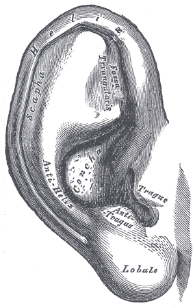 The pinna (external human ear)