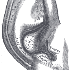 Posterior Cervical Lymph Nodes Diagram Whirlpool Washer Electrical Wiring Auricle (anatomy) - Wikipedia