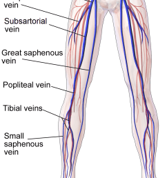 vein of the arm diagram [ 1000 x 1500 Pixel ]