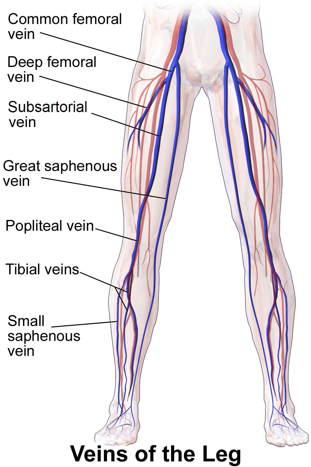 hight resolution of split femur diagram