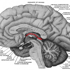 Human Brain Diagram Limbic System Double Switch Wiring Light Epithalamus - Wikipedia