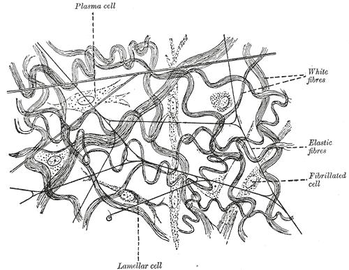 diagram of yellow elastic tissue