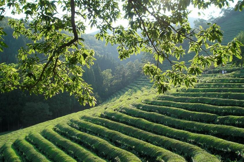 500 year old green tea fields, Boseong, Jeolla...