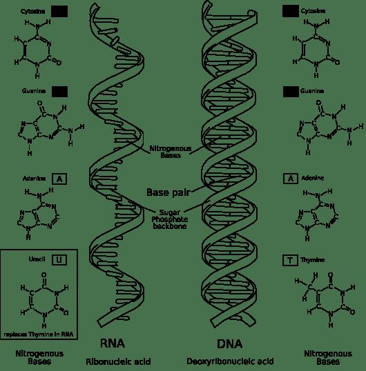 ARN (izquierda) vs ADN (derecha). Observad: una sola cadena vs dos cadenas enfrentadas. Fuente Wikipedia