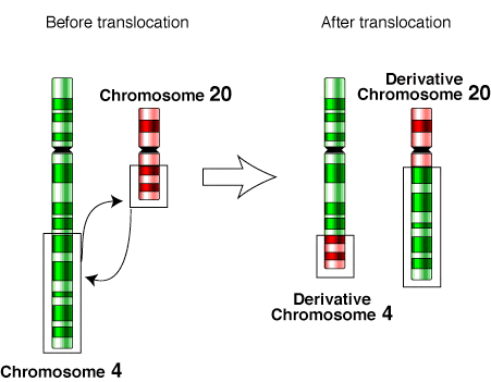 File:Translocation-4-20.png - Wikimedia Commons