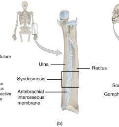 fibrous joint [ 2535 x 1115 Pixel ]
