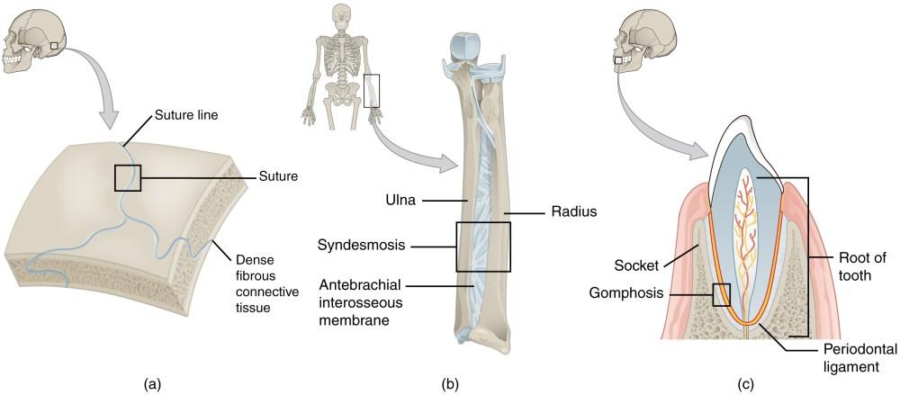 medium resolution of fibrous joint