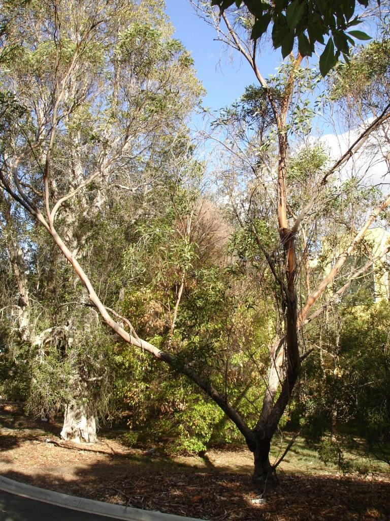 Eucalyptus Lansdowneana Wikipedia