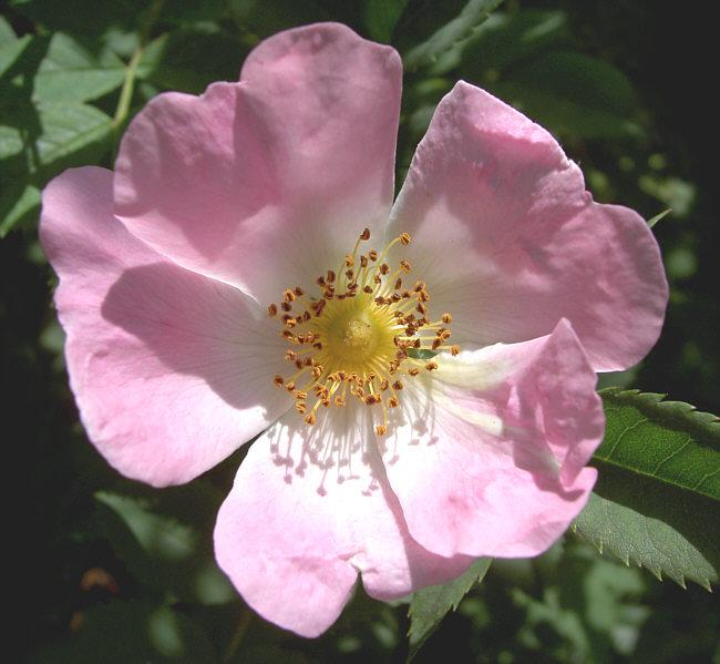 Rosengewchse  Wikipedia