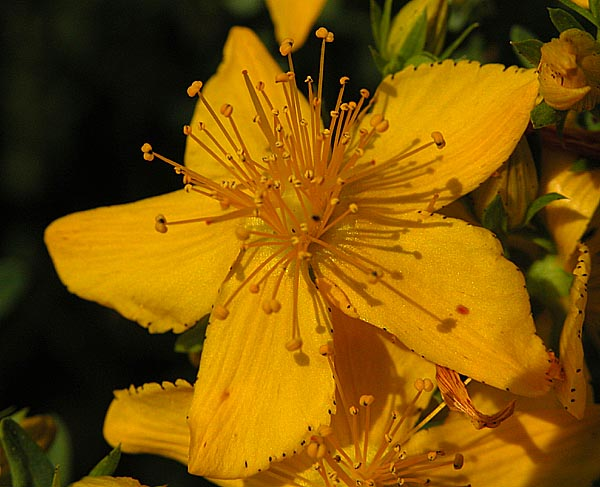 flor de lHerba de Sant Joan