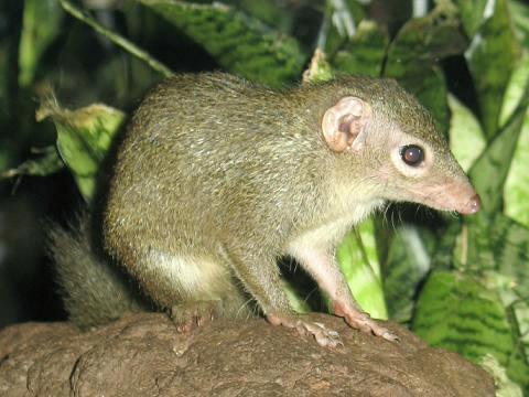Spitzhörnchen via Wikipedia/Stavenn