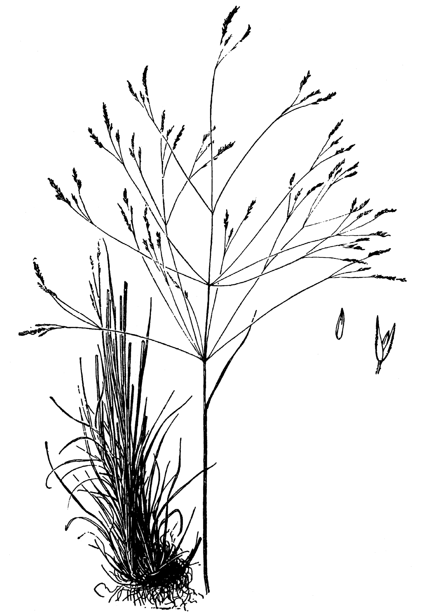 File Agrostis Hyemalis Drawing