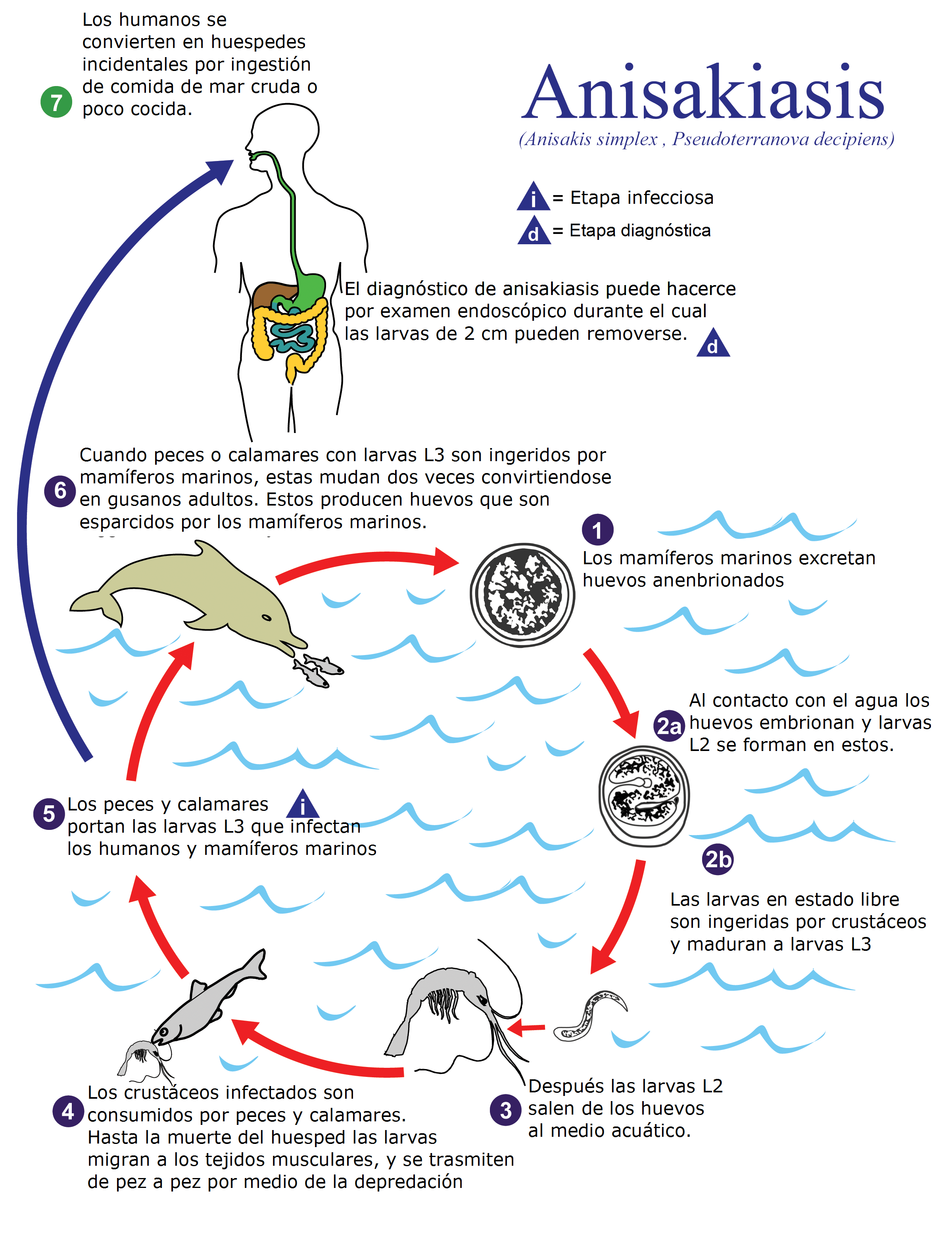 blue whale life cycle diagram ford escape 2006 radio wiring free engine image for user