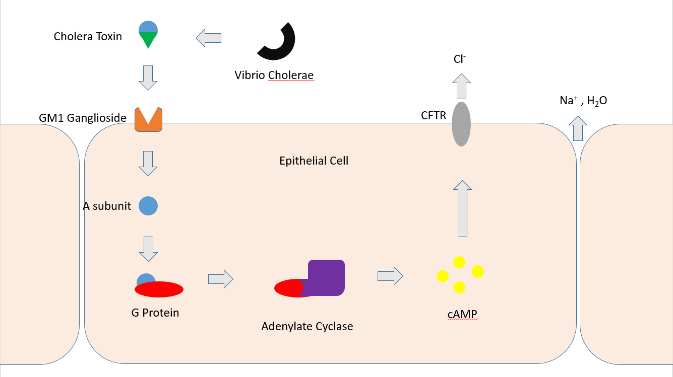 hight resolution of pertussi cell diagram