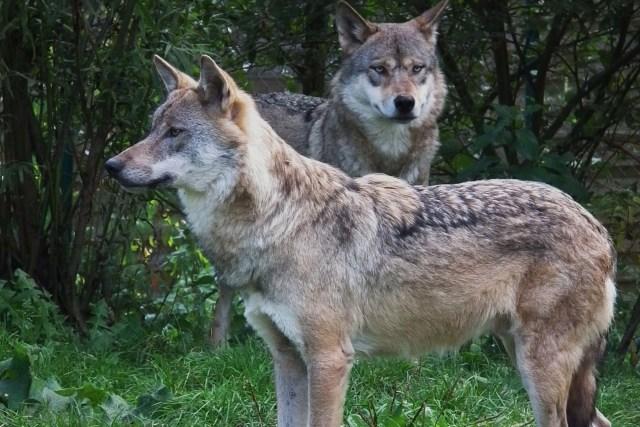 Loups gris communs