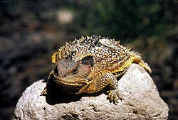 A Short-horned Lizard on a rock. Either Phryno...