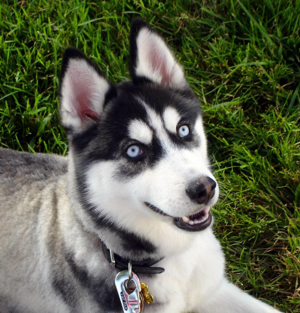 Siberian Husky blue eyes Flickr Dogs 101 Pitbulls