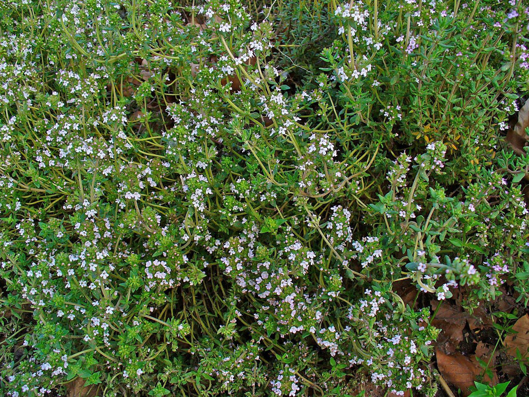 Botiquin Para Baño Casero:Indice por plantas – S T