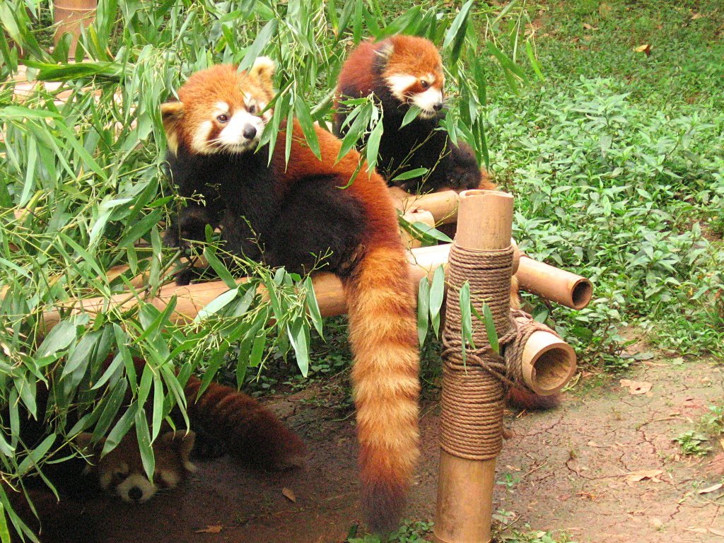 Red Panda - Image Source: Wikipedia