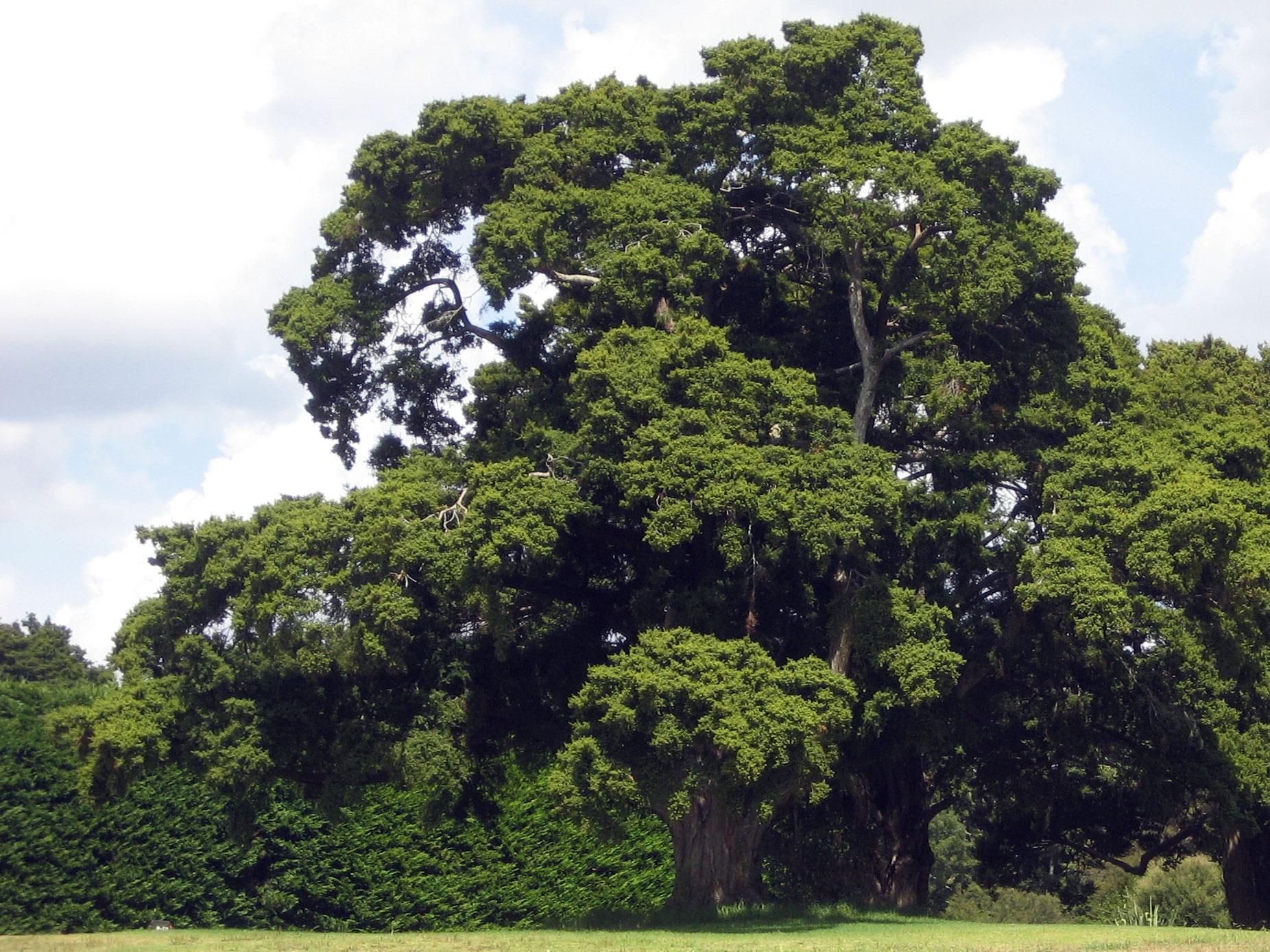 Pb3 podocarpus totara pb3 podocarpus. Podocarpus Totara Wikipedia