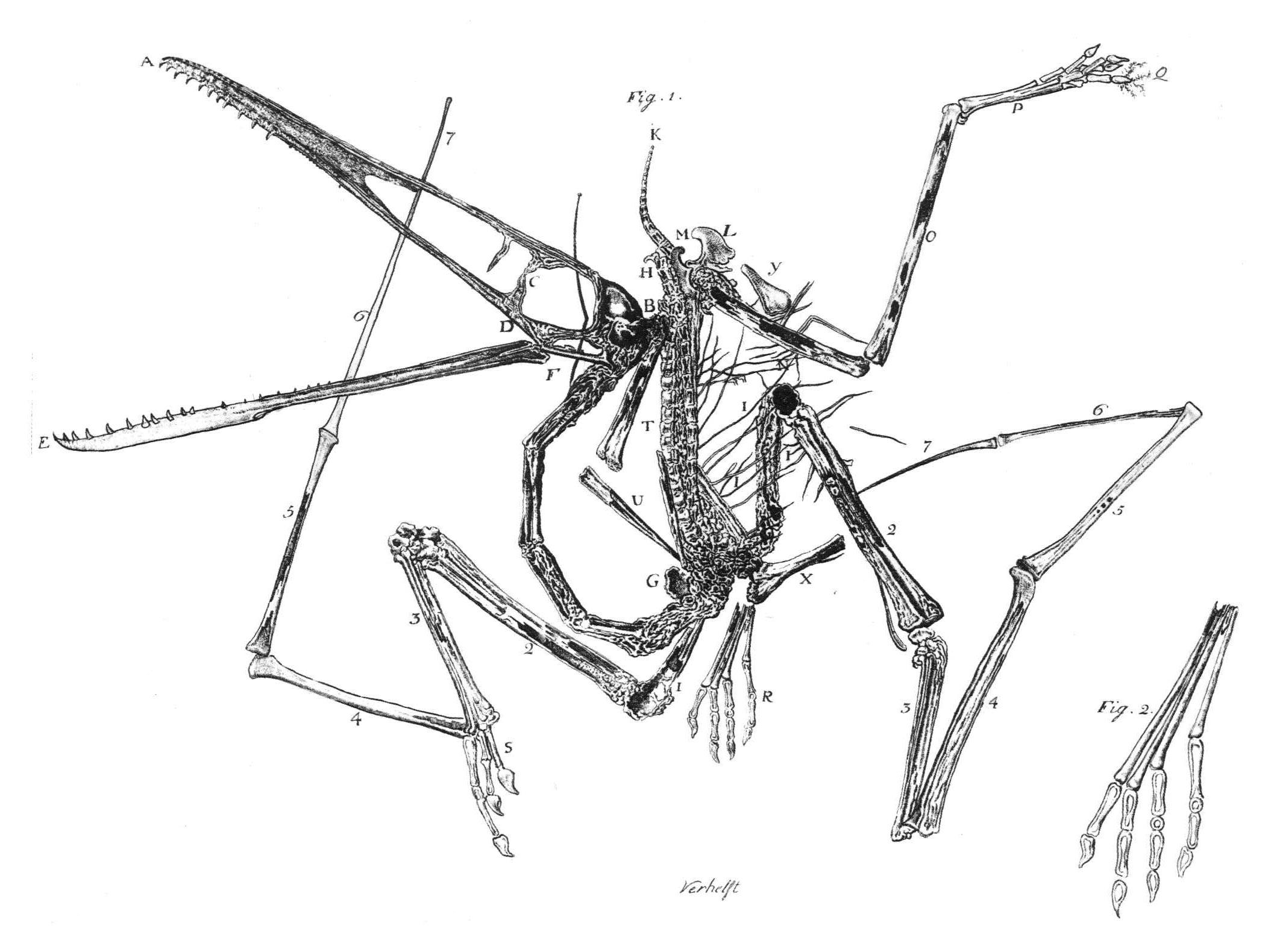 https://i0.wp.com/upload.wikimedia.org/wikipedia/commons/c/cf/Pterodactylus_holotype_Collini_1784.jpg