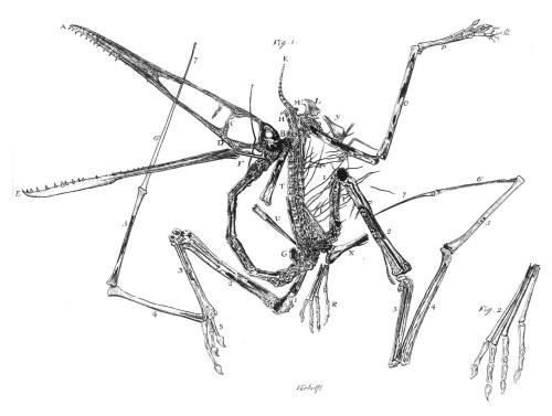 https://i0.wp.com/upload.wikimedia.org/wikipedia/commons/c/cf/Pterodactylus_holotype_Collini_1784.jpg?resize=500%2C377