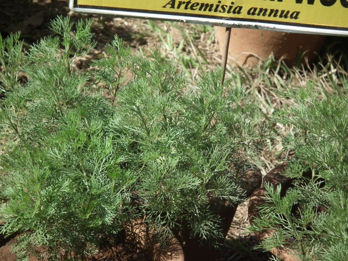 File:Sweet worm wood (Artemisia annua) from lalbagh 2280.JPG ...