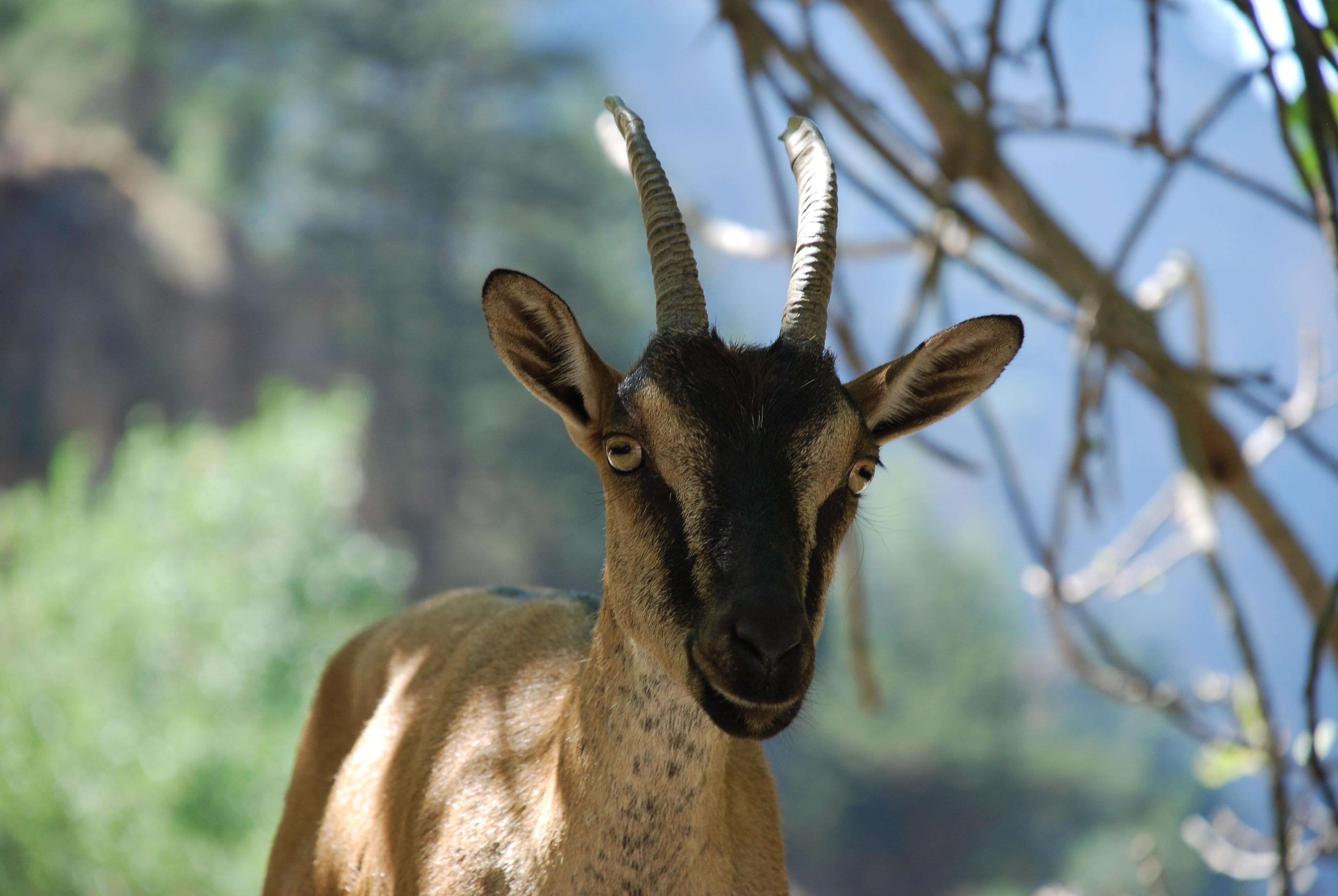 Cute Wallpapers Of All The Animals File Kri Kri Samaria Gorge Crete Jpg Wikimedia Commons