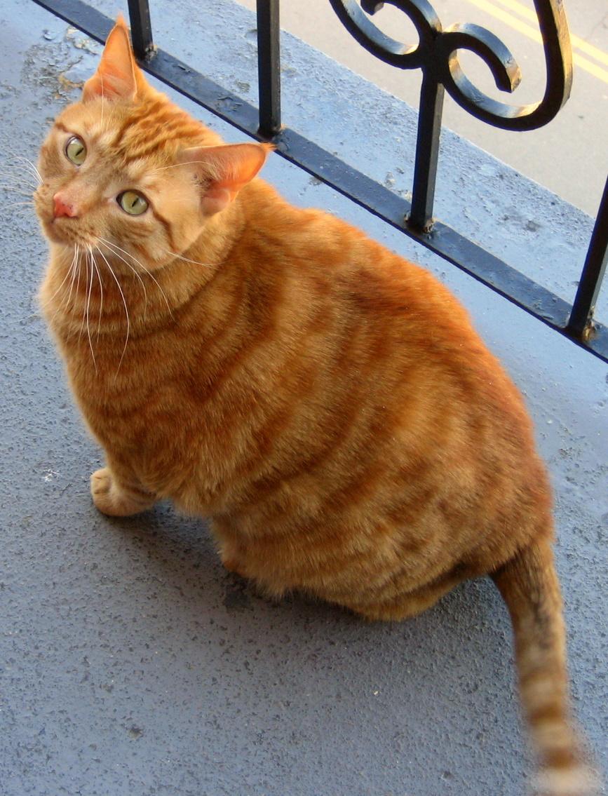 Orange Cat Pictures : orange, pictures, File:Orange, Tabby, Balcony.jpg, Wikipedia