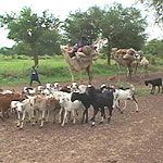 English: Nomads leaving Niger with their goat ...