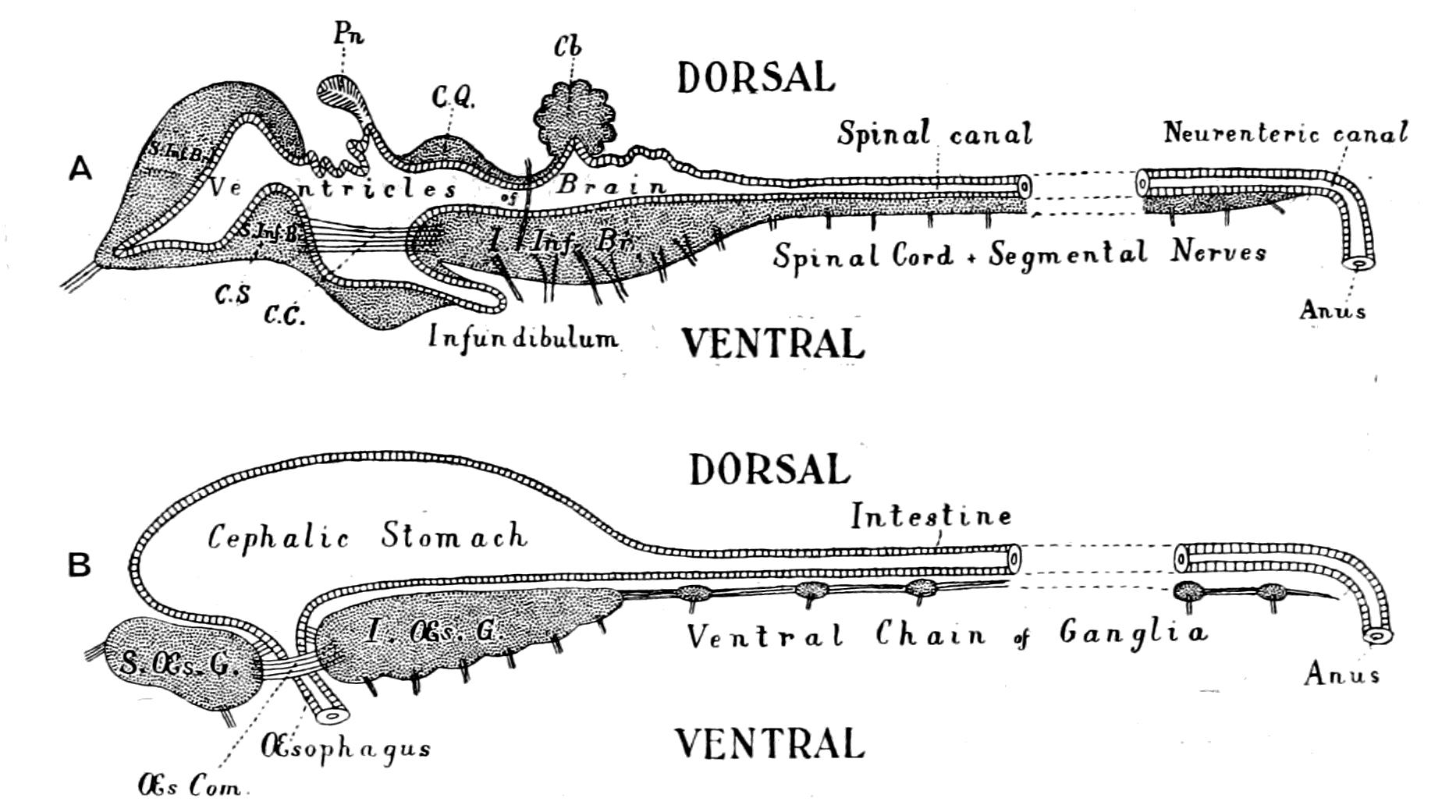 File Origin Of Vertebrates Fig 003