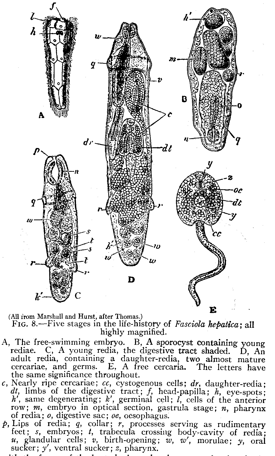 hight resolution of trematode life cycle stages