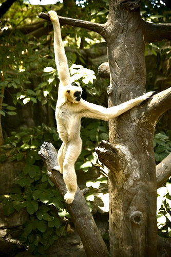 Brachiating Gibbon photo by Troy Thompson. Creative Commons License
