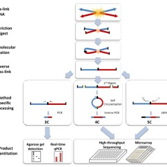 Meiosis Vs Mitosis Diagram Light Switch Wiring Red Black White Chromosome Conformation Capture - Wikipedia