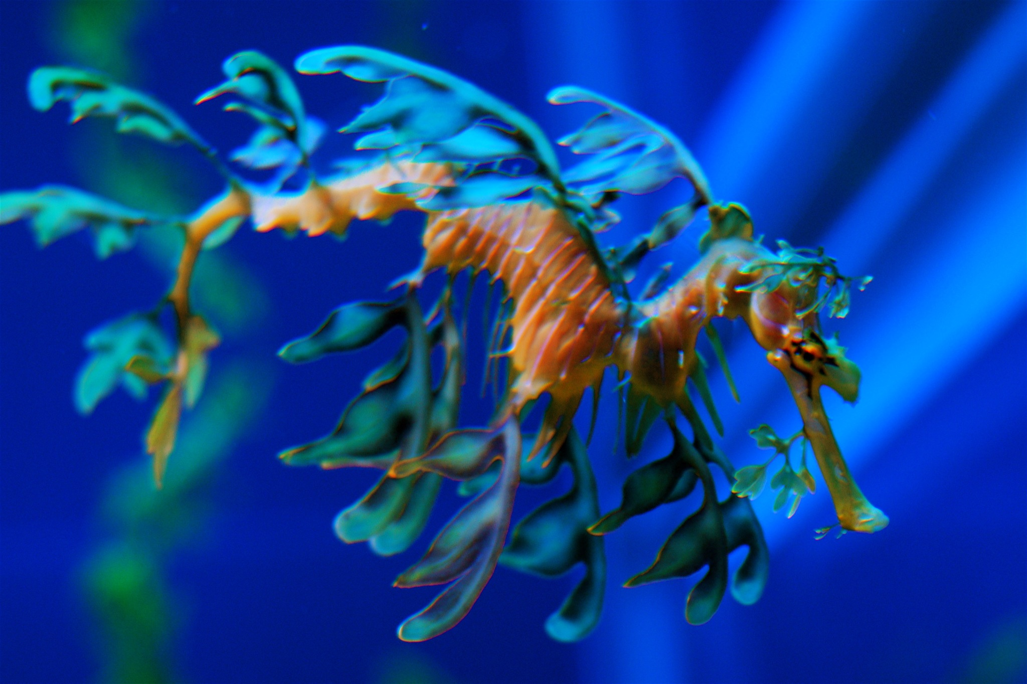 file leafy sea dragon