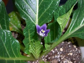 M officinarun flower.jpg