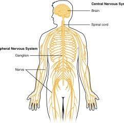 Concept Map Skeletal System Diagram 2000 Chevy Silverado 1500 Trailer Wiring Central Nervous - Wikipedia
