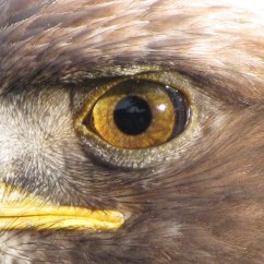 Golden Eagle Skeleton Diagram 6 Pin Trailer Plug Wiring Australia Eye Wikipedia