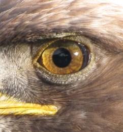 eagle eye from wikipedia  [ 3648 x 2736 Pixel ]