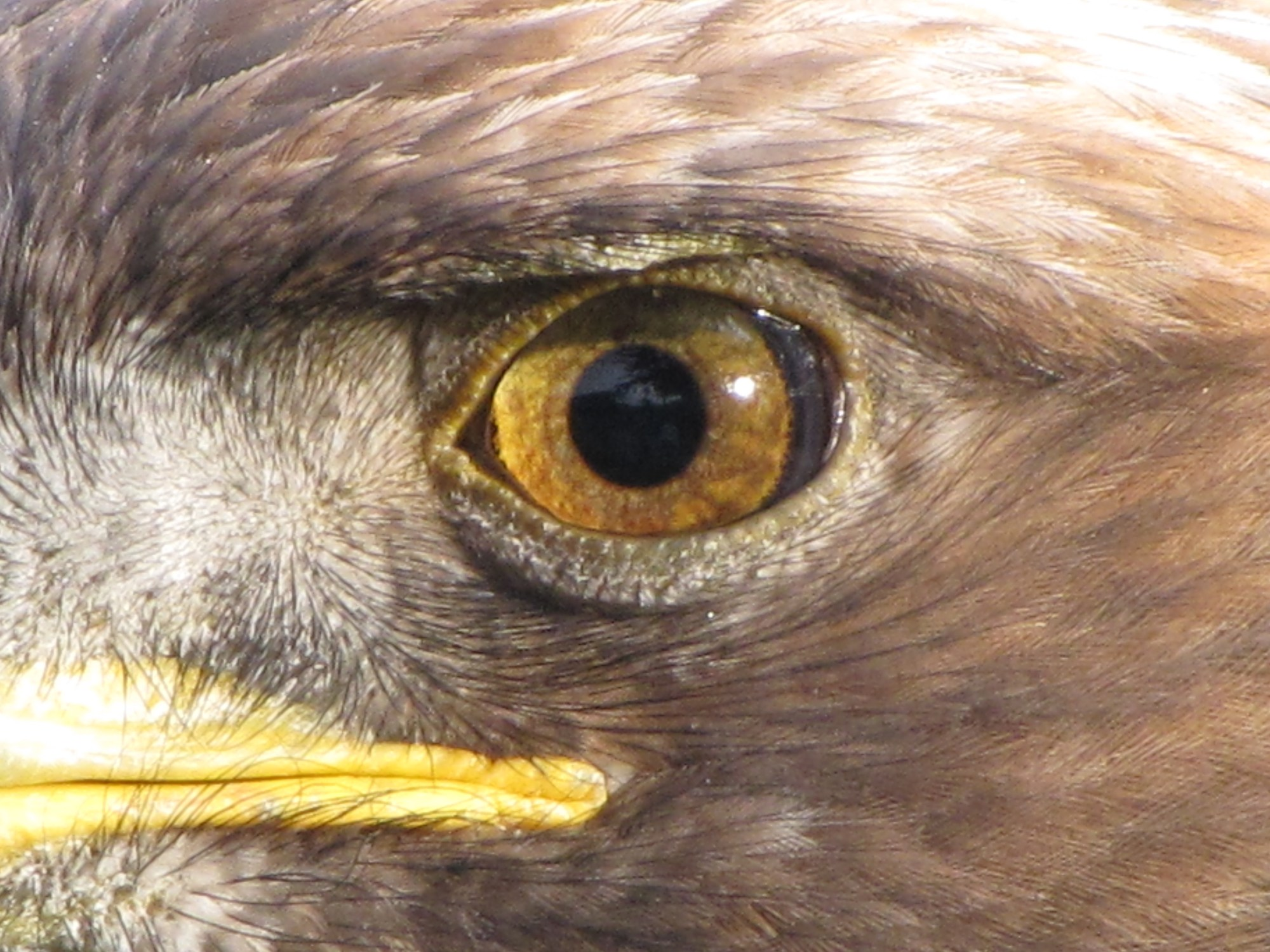 hight resolution of eagle eye from wikipedia