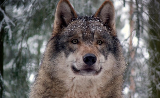 Hunter Shoots First Wolf In Grand Canyon In 70 Years
