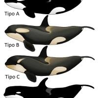 Orcas asociándose para capturar a una foca