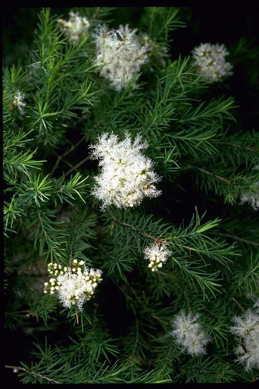 Melaleuca Alternifolia Wikipedia