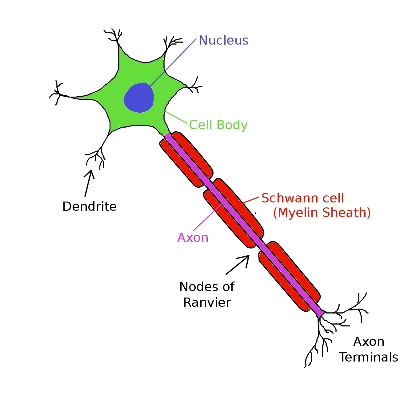 Guillain–Barré syndrome (GBS)