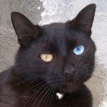 Cute Little Gray Cat For Wallpaper Odd Eyed Cat Wikipedia