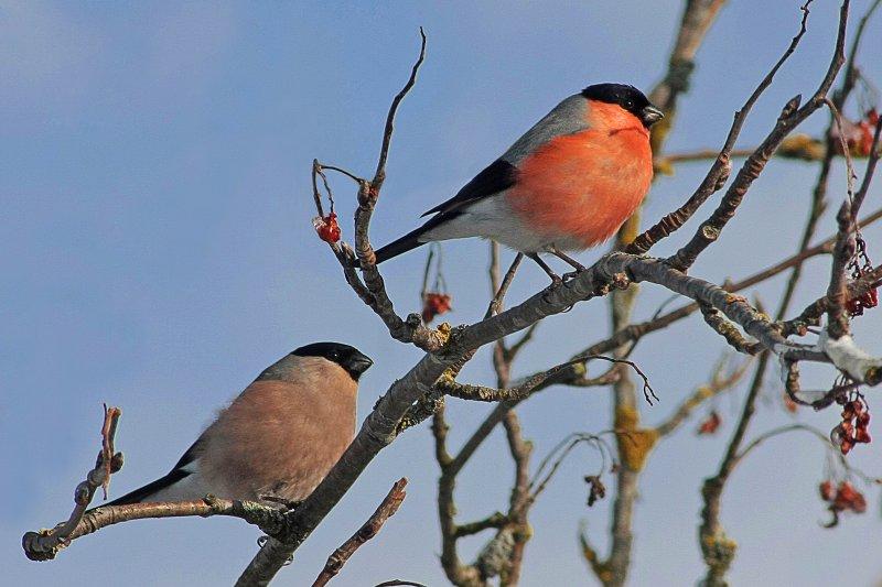 Pyrrhula pyrrhula -Germany -perching in a garden tree -pair-8a