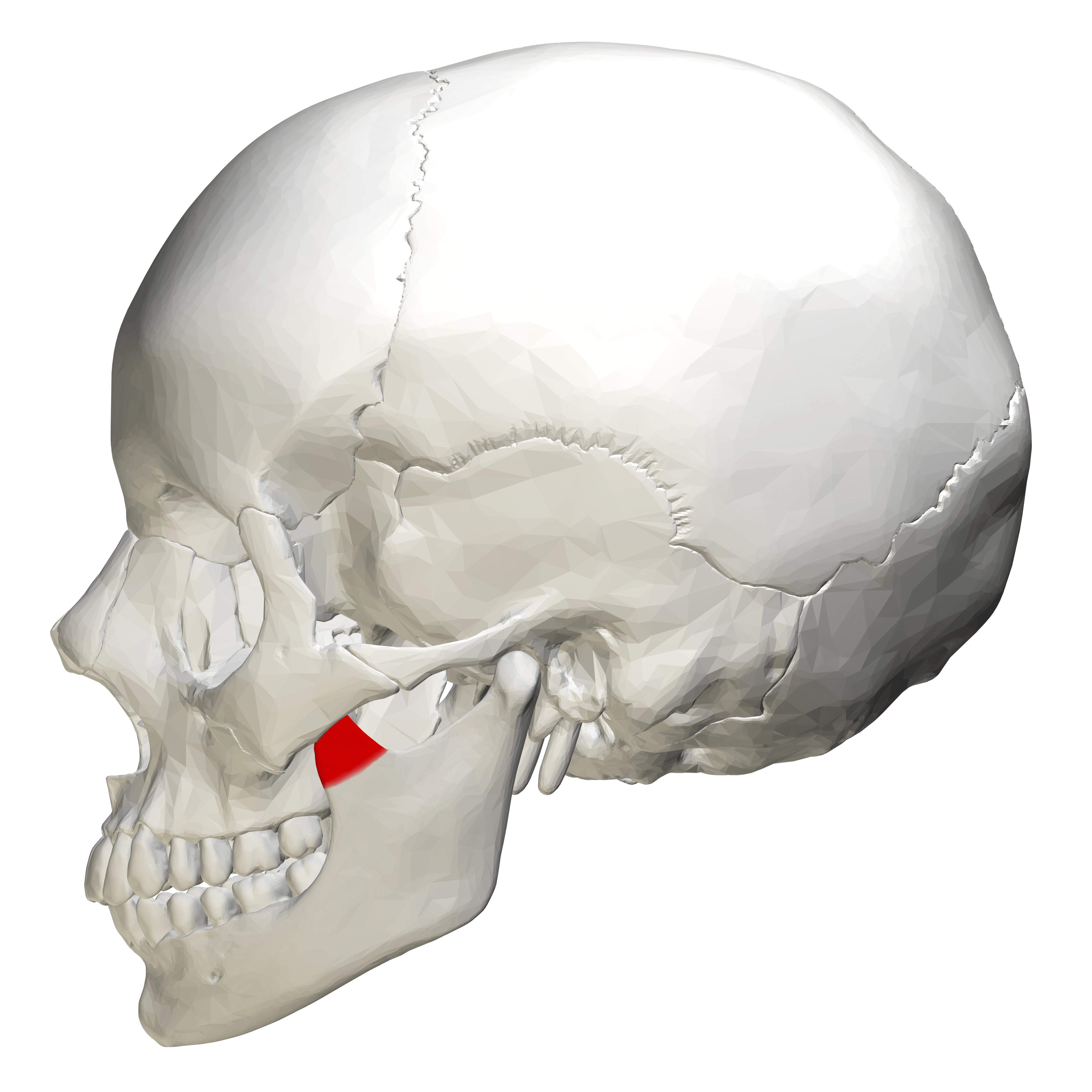 axial skeleton skull diagram 2003 ford ranger wiring diagrams print anatomy physiology lab 1 the flashcards easy notecards