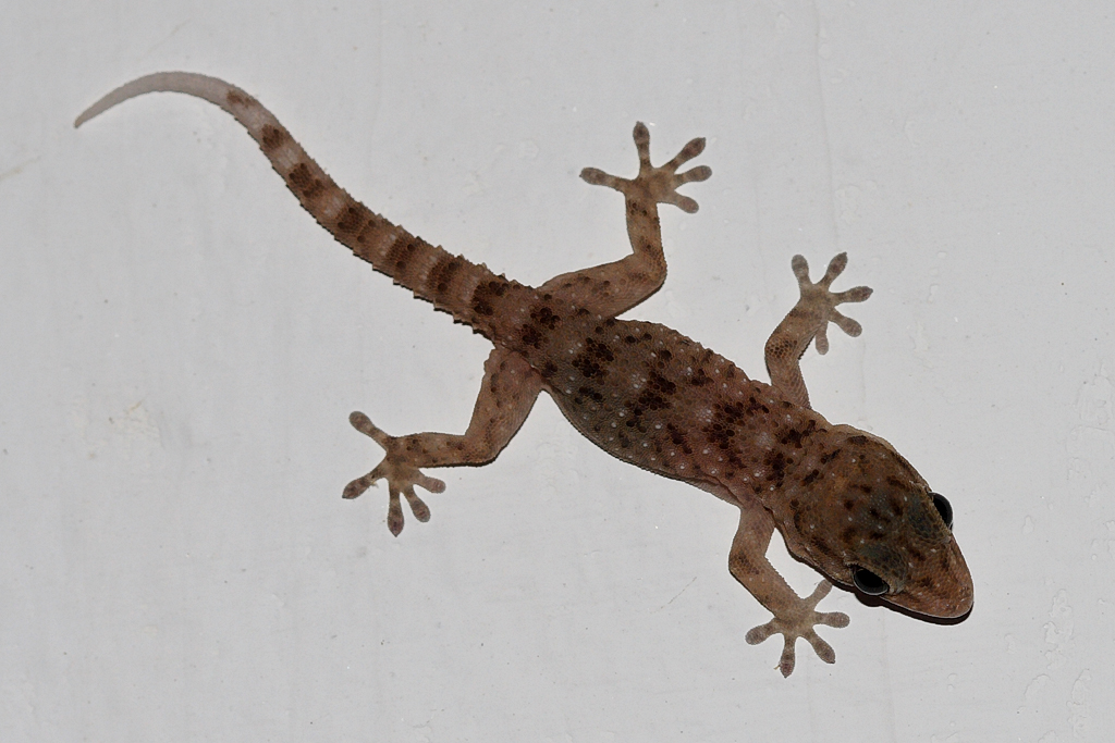 Gomero wall gecko  Wikipedia